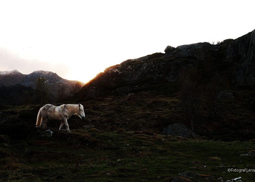 vit häst i fjällen