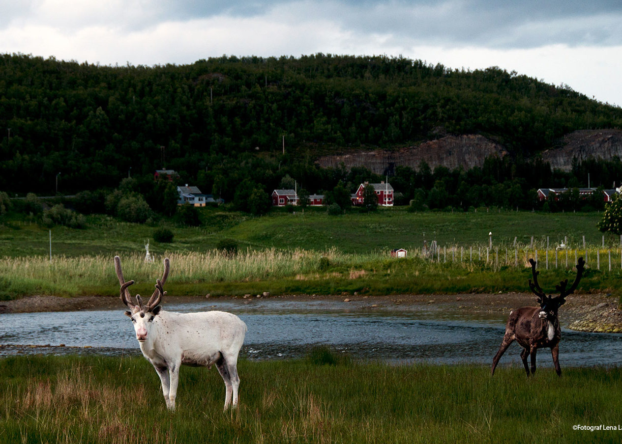 renar i Finnmark